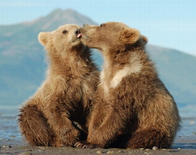bear-cubs-kissing-sized.jpg