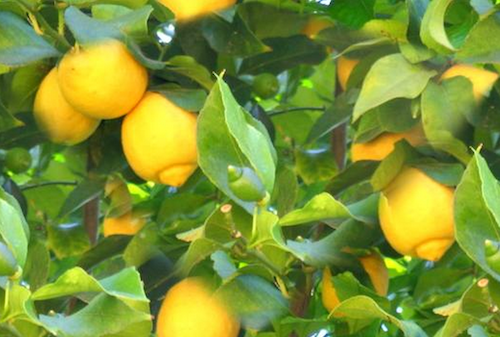 a-lemon-tree.png